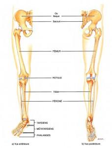 anatomie membre inferieur