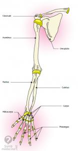 anatomie membre superieur